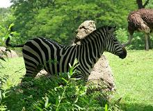 Zebra (Submitted by Christina Daub)