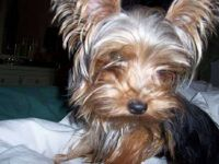 Dora - Yorkshire Terrier (Submitted by Michelle Masley)