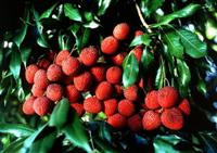 Lychees, Litchi chinensis