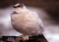 Rock Ptarmigan in Winter Plumage
