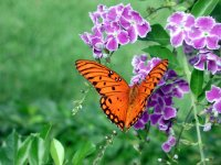 Duranata and a butterfly