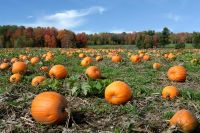 Pumpkins field