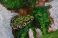 See Frosch