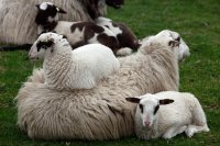 Young Lambs Resting