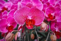 Blooming Orchid Flowers