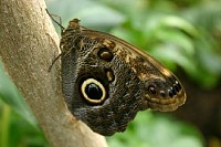 Owl Butterfly Perched on a Tree