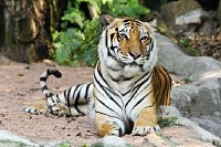 A Scary Tiger