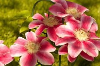 Marie Therese Clematis