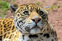 Jaguar Looking Up