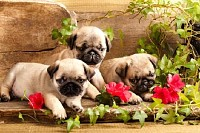 Pug Puppies and Flowers