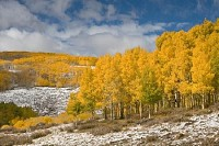 Yellow Trees Waiting for Winter