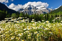 Daisies at Mount Robson Provincial Park, Canada