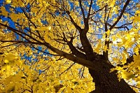 Tree in the Fall
