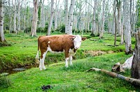 Cow at Forest