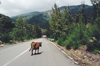 Cow on the Road, Vietnam
