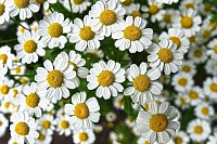 Chamomile Flowering
