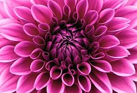 Perfect Pink Dahlia