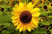 Daily Sunflower
