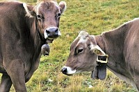 Two Grazing Cows