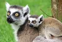 Lemur Baby and Mother