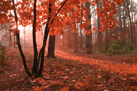 Misty autumn forest with red foliage on the trees