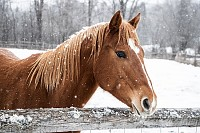 Brown horse behind wooden fence in the Snow