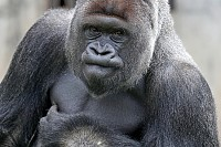 Gorilla, male, Silver Back