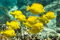 Yellow Tangs, Underwater Paradise, Hawaii
