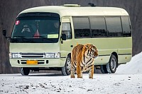 Siberian tiger and a bus with tourists, China