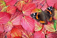 Red admiral butterfly on bright autumn leaves