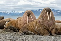 The Walrus is a marine Mammal