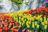 Beautiful colorful tulips flower in the garden