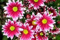 Pink purple white chrysanthemum flowers