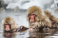 Group of Japanese macaques sitting in water