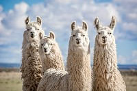 Alpacas of the Argentine north
