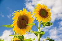 Bright yellow sunflower over blue sky