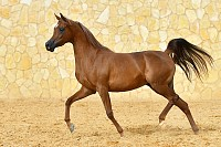 Purebred chestnut Arabian Stallion runs in trot