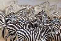 Group of Zebras in the dust. Kenya. Tanzania