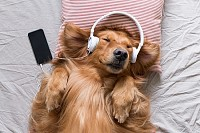 Golden Retriever wearing headphones listening to m
