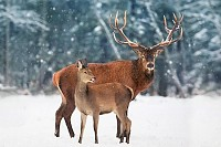 Deer male with female against the winter snow