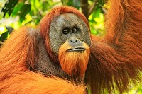 Sumatran orangutan in Gunung Leuser National Park
