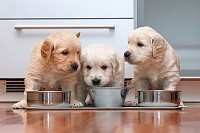 Puppies eating food in the kitchen like little gou