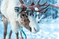 Raindeer in its natural environment in Scandinavia