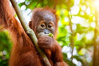 Orangutan cute baby in tropical rainforest