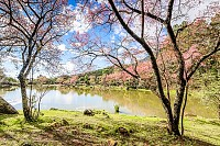 Cherry blossom at lake in Chiang Mai, Thailand
