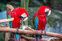 Red Macaw Bird sitting on branch