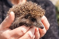 Small beautiful hedgehog in hands