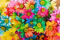 Rainbow Daisies. Chrysanthemum Rainbow Flower