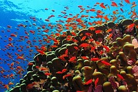 Coral reef and school of red fish