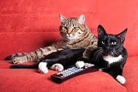 Two cats with remote control watching TV